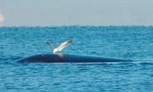 Hải âu khổng lồ 'ăn sống' cá voi