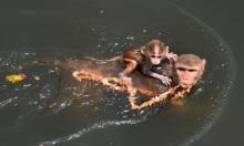 Đàn khỉ hoang xâm chiếm ngôi làng Ấn Độ