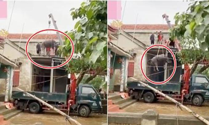 Dùng xe cẩu đưa trâu từ mái nhà xuống sân