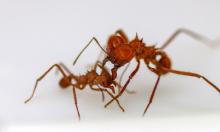 Phát hiện loài côn trùng đầu tiên có 'áo giáp' sinh học