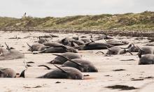 Cá voi chết hàng loạt trên quần đảo New Zealand