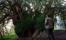 Cây đại thụ chuyển giới sau 3.000 năm