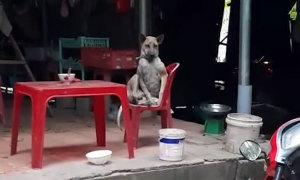 Chó ngồi vắt chân trên ghế