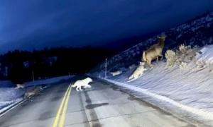 Chó sói đuổi nai sừng xám trước mũi xe
