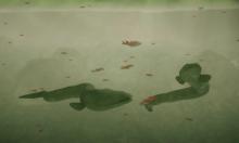 Cách lươn điện phối hợp săn mồi