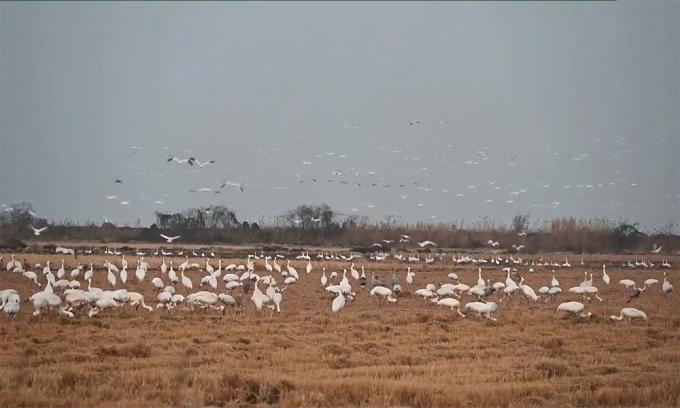 Hơn 1.000 sếu trắng sà xuống nông trại