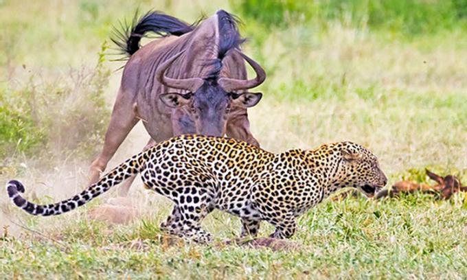 Linh dương đầu bò mẹ đánh đuổi báo hoa mai và lợn bướu