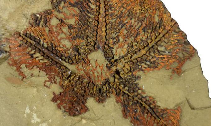 Phát hiện hóa thạch sao biển cổ xưa nhất thế giới