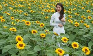 Vườn trồng 40.000 hoa hướng dương, hoa tam giác mạch