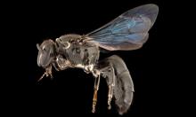 Loài ong hiếm tái xuất sau 100 năm