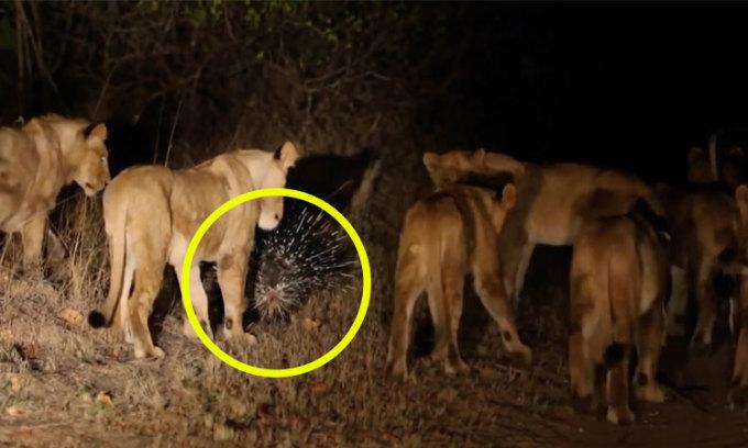 9 con sư tử bỏ cuộc khi tấn công nhím