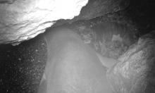 Phát hiện nơi sinh sản của loài hải cẩu hiếm nhất