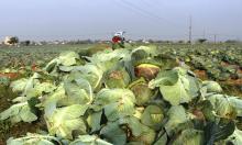 Nông dân Nghệ An vứt bỏ rau xanh