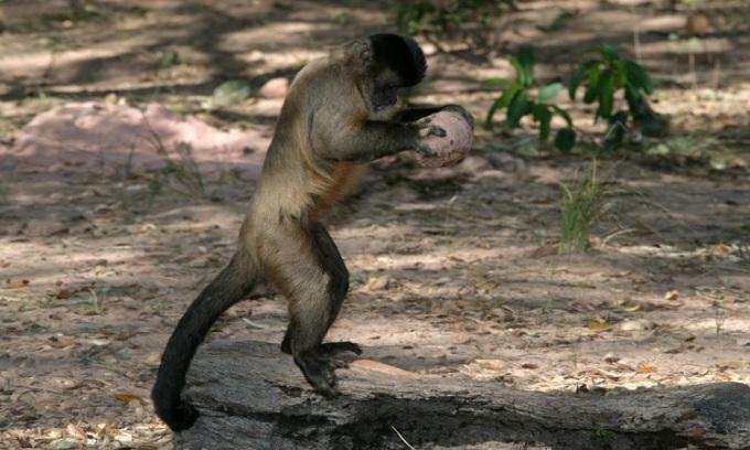Loài khỉ xoa bột đá lên thân để trị chấy