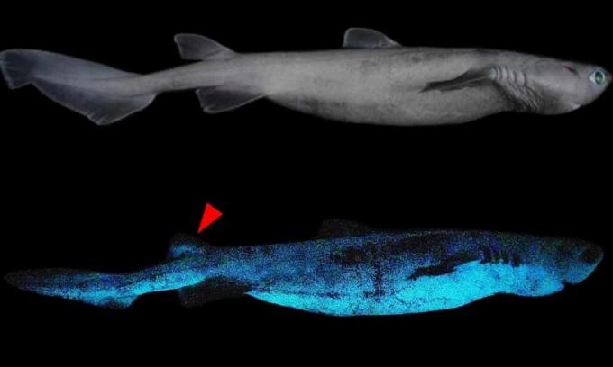 Phát hiện cá mập phát quang ở độ sâu 1.000 m