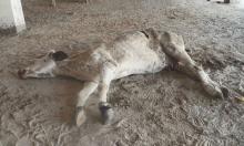 Bò mang thai chết với 71 kg rác trong bụng