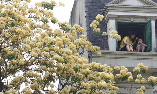 Cây hoa bún trăm tuổi toả hương khoe sắc