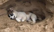 Cún cưng quên lối về khi xây 'lâu đài cát'