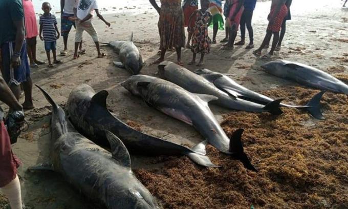 Cá heo chết hàng loạt ở ven biển Đại Tây Dương