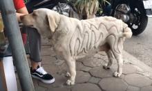 Chó cưng có bộ lông độc đáo ở Hà Nội