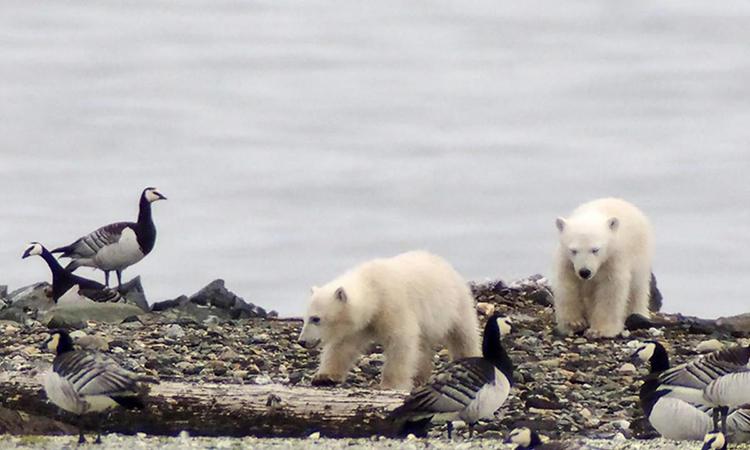 Gấu Bắc Cực trộm trứng
