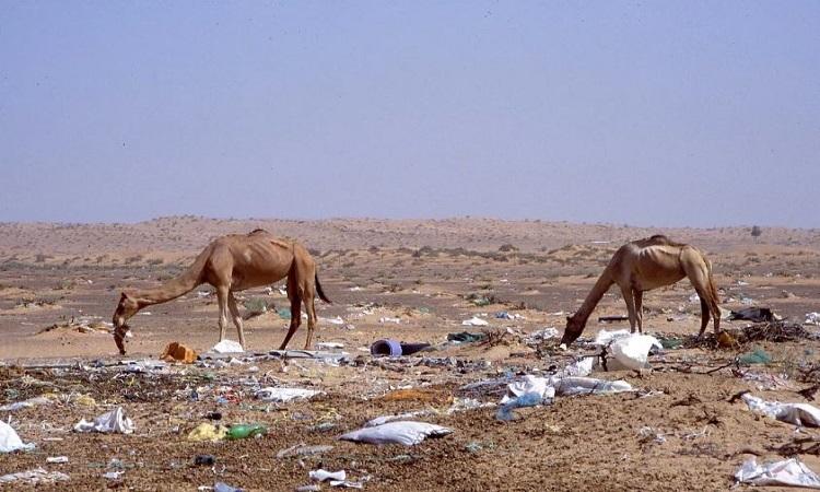 Lạc đà chết vì 2.000 túi nylong trong bụng