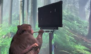Khỉ cấy ghép não chơi game bằng 'ý nghĩ'