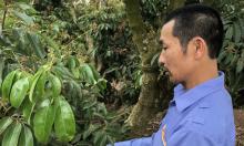 Nông dân trồng vải thiều sạch theo chỉ dẫn địa lý Nhật Bản