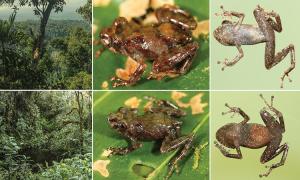 Phát hiện loài ếch mới không có màng nhĩ