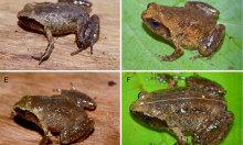Phát hiện loài ếch tí hon mới