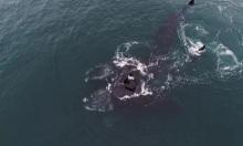 Thước phim hiếm ghi hình cá voi nguy cấp 'ôm' nhau