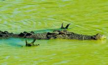 Ảnh chụp cá sấu 'xòe tay' để săn cá