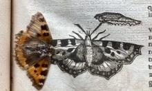 Cánh bướm ép trong sách nguyên vẹn 400 năm