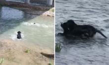 Chó lao xuống dòng nước xiết cứu đồng loại