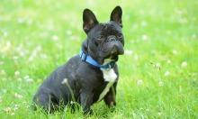 Trộm chó ở Anh tăng đột biến trong Covid-19