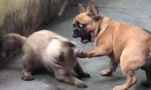 Chó trả giá vì bắt nạt mèo