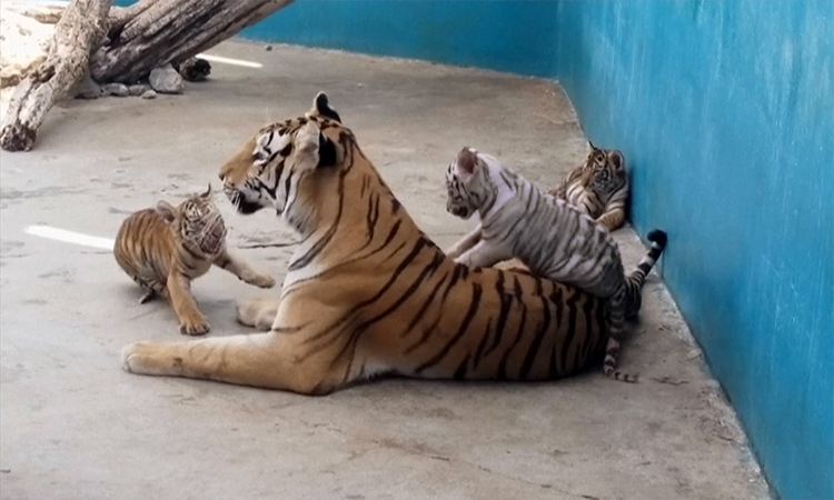 Hổ trắng đầu tiên chào đời ở Cuba