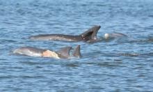 Cá heo sống sót sau khi bị cá mập cắn