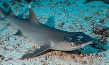 Bệnh da bí ẩn đe dọa cá mập