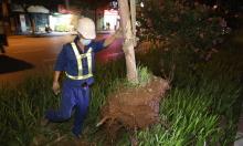 Hơn 200 cây phong lá đỏ được di dời trong đêm