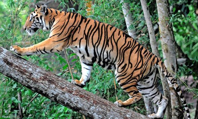 Con hổ ẩn ở đâu?