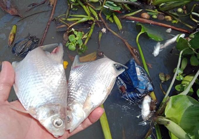 Cá chết hàng loạt trên sông Cần Thơ