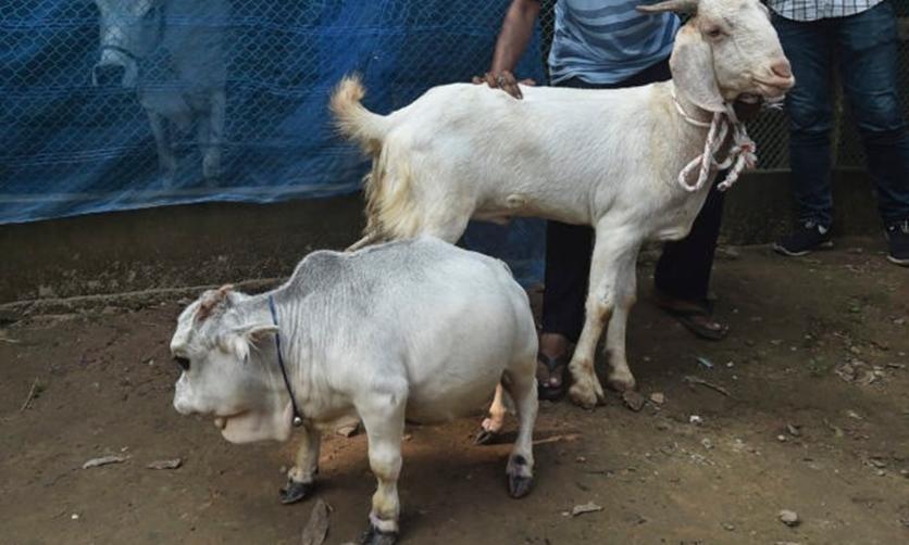 Đổ xô xem bò lùn bất chấp lệnh phong tỏa