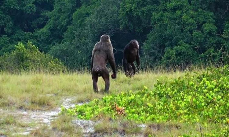 Tinh tinh hợp sức đoạt mạng khỉ đột