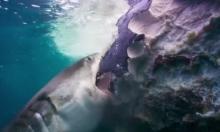 Bầy cá mập ăn thịt cá voi