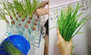 Mẻ hành bội thu khi trồng trong chai