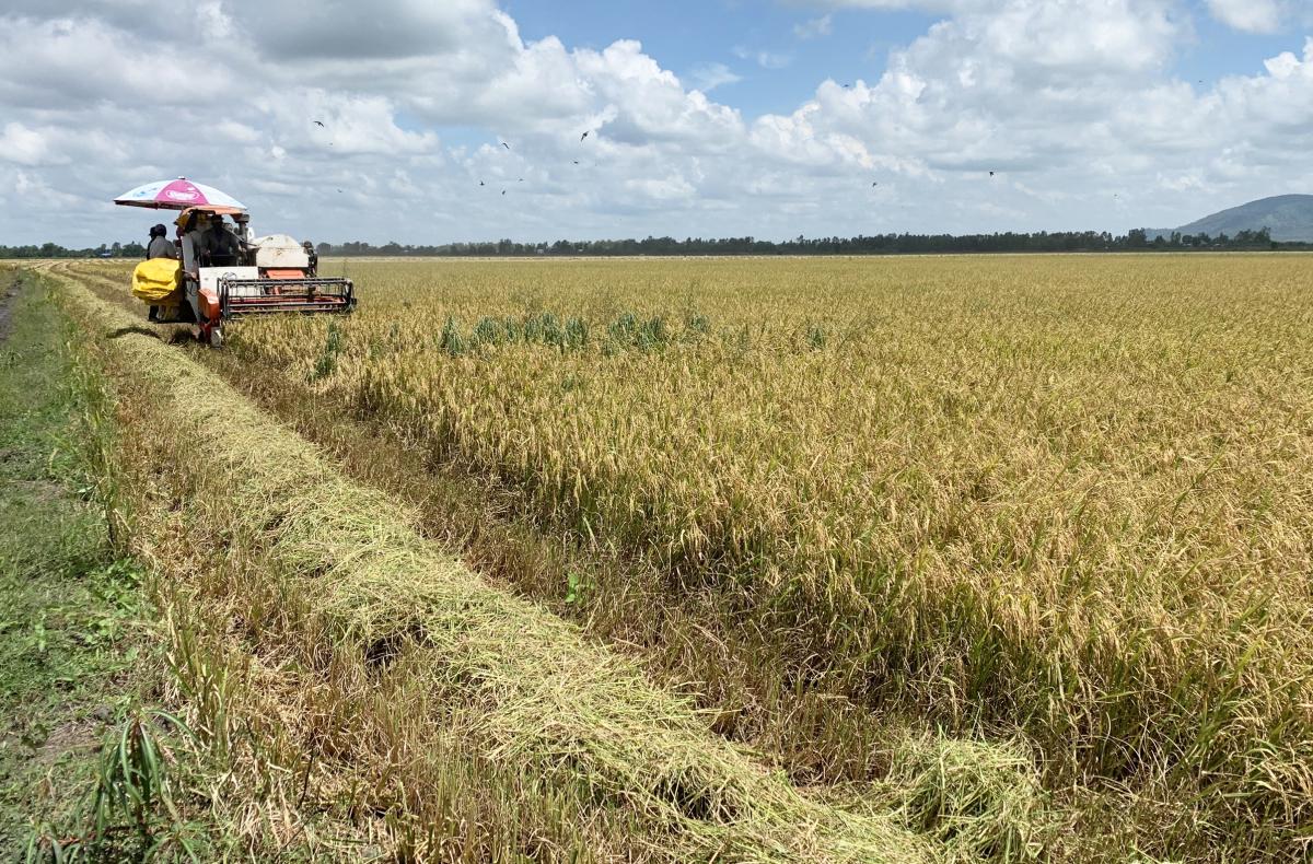 Giá lúa miền Tây đồng loạt giảm