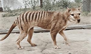 Phục chế màu thước phim về hổ Tasmania tuyệt chủng