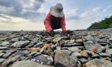 Bắt nghêu trên bãi đá